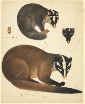 Chinese ferret badger, 19th century