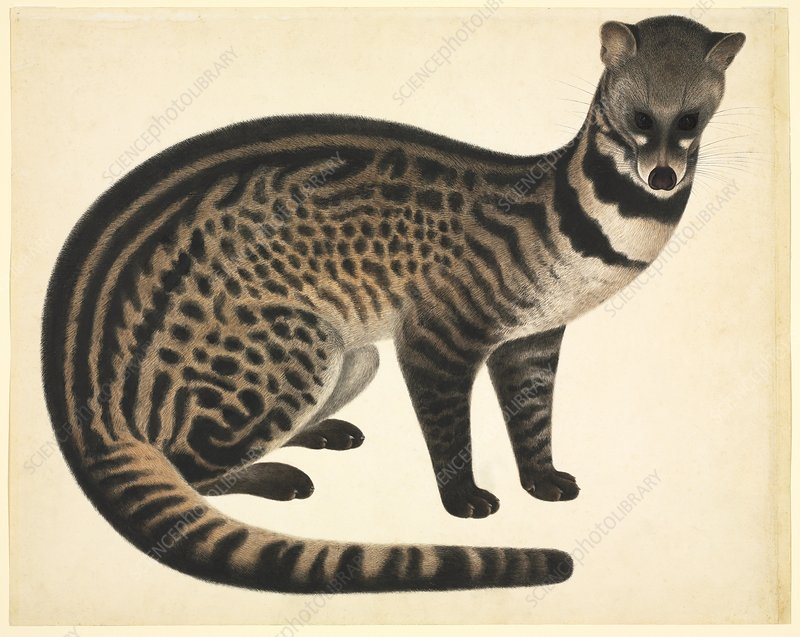 Large-spotted civet, 19th century