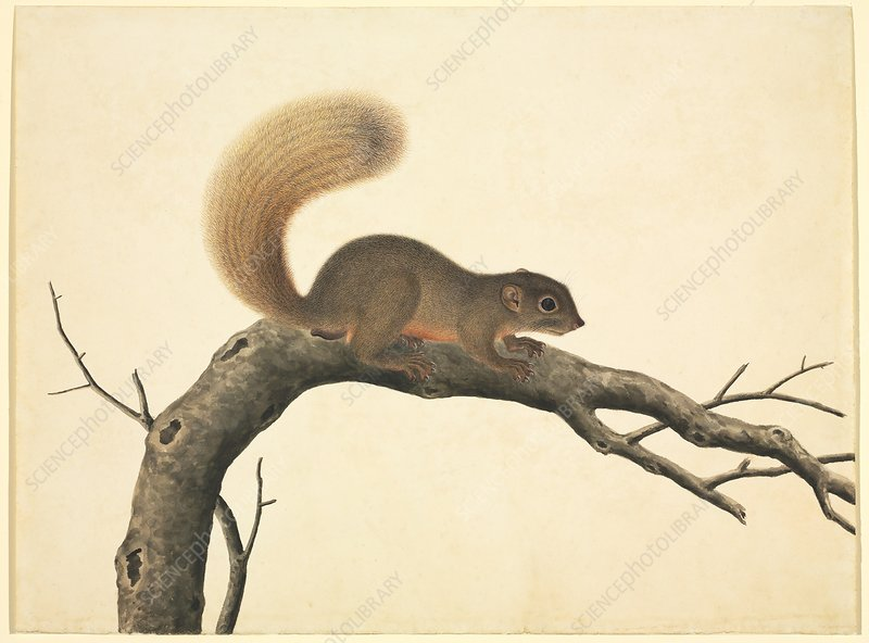 Chinese squirrel, 19th century