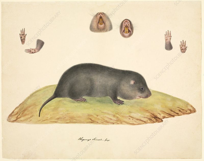 Chinese mole, 19th century