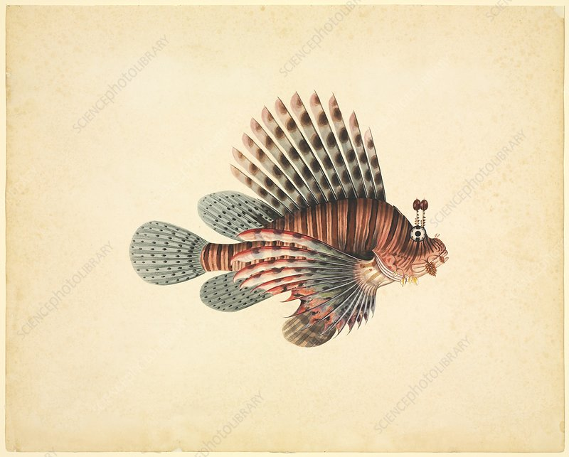 Red lionfish, 19th century