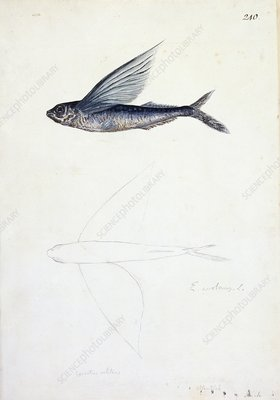 Tropical flyingfish, 18th century