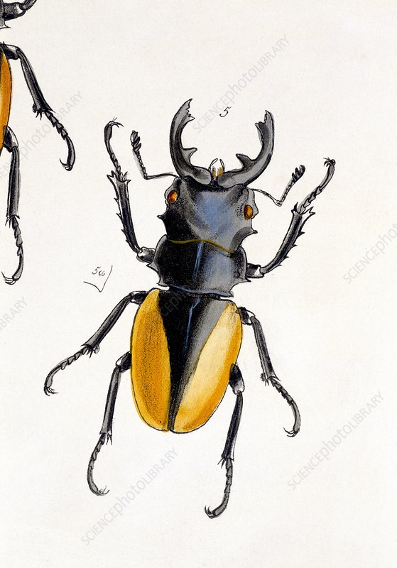 Oriental stag beetle, 19th century