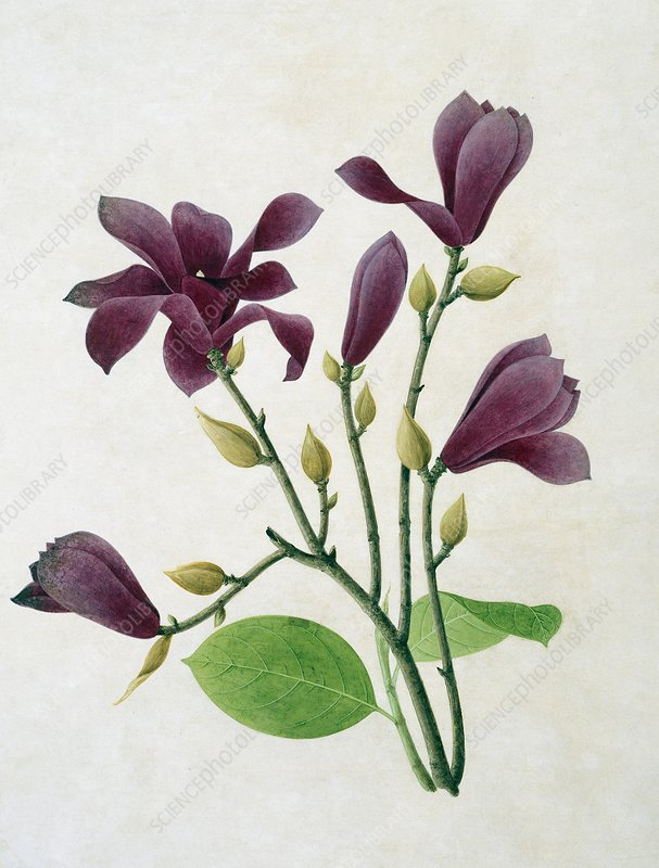 Magnolia liliiflora, 19th-century artwork