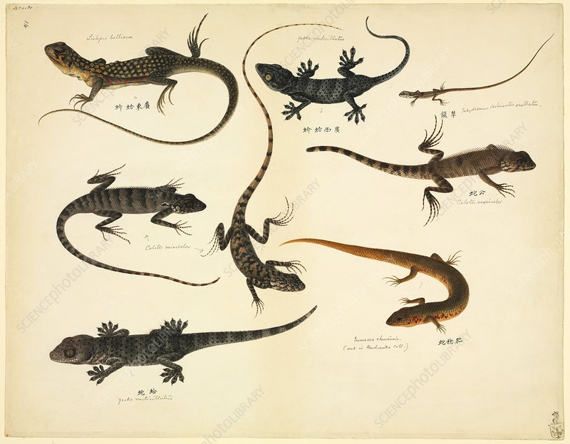 Chinese lizards, 19th century