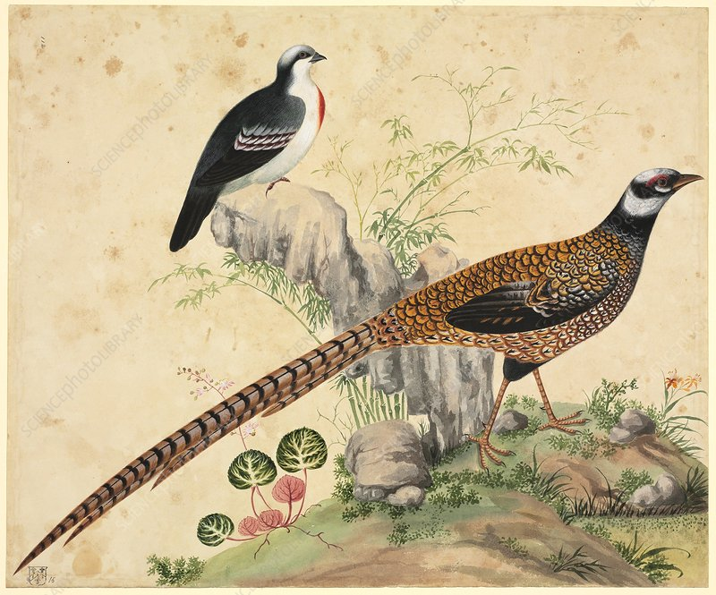 Chinese pheasants, 19th century