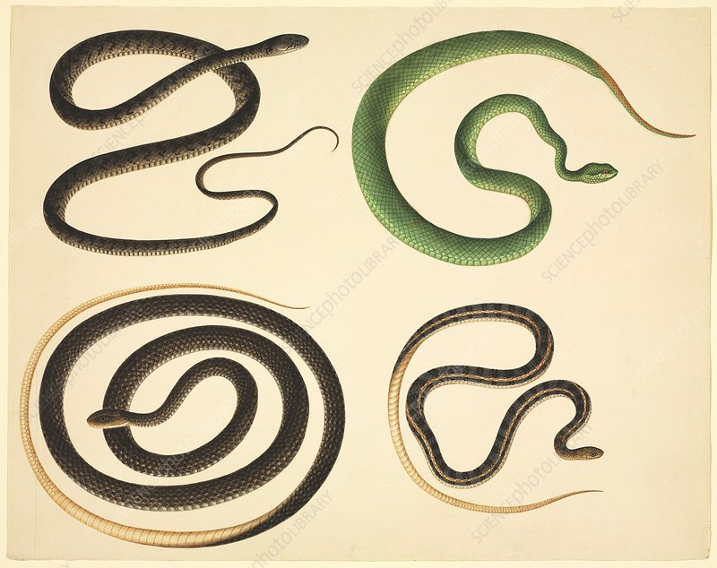 Chinese snakes, 19th century