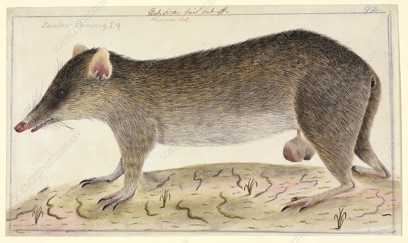 Long-nosed bandicoot, 18th century