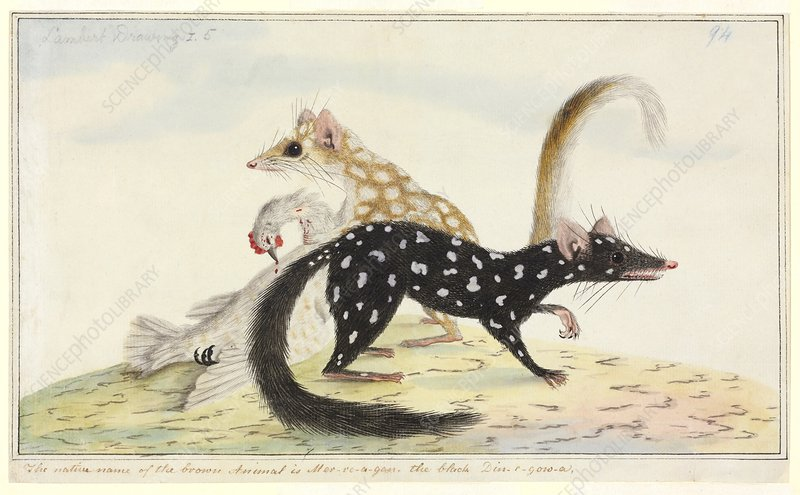 Eastern quoll, 18th century
