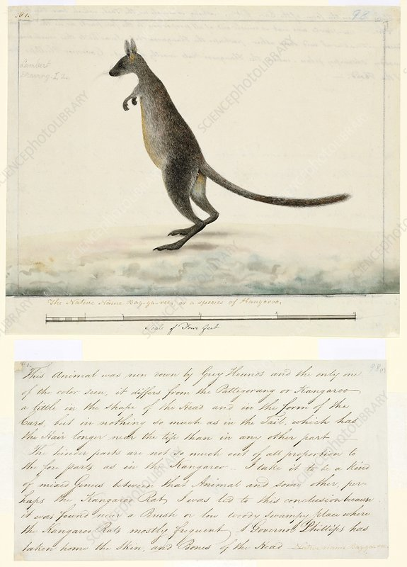 Swamp wallaby, 18th century
