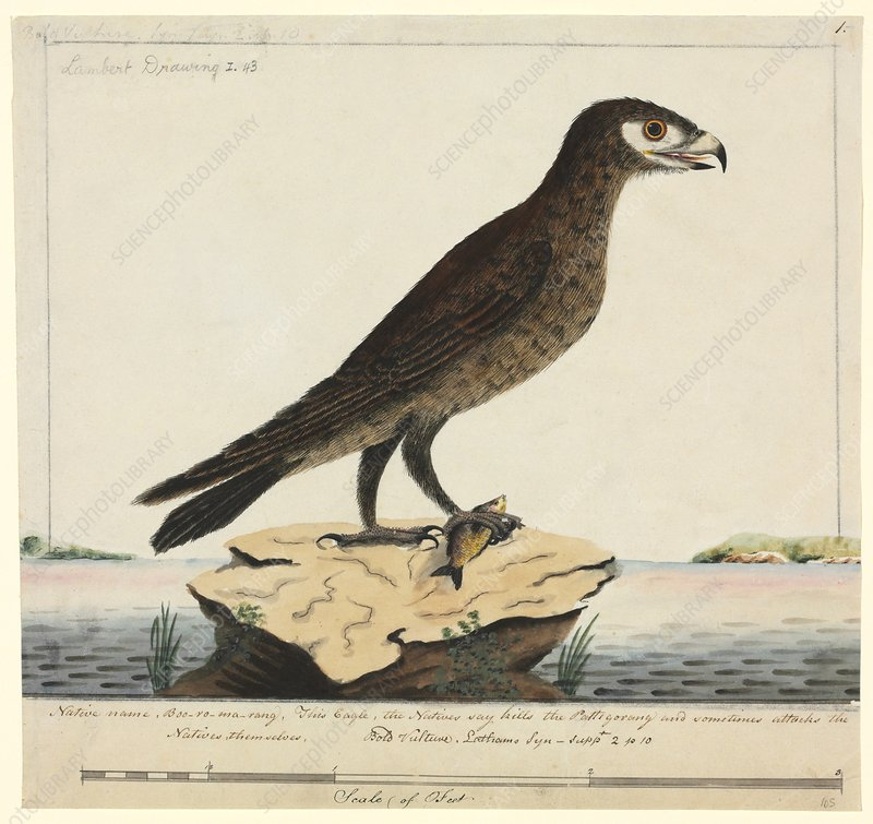 Wedge-tailed eagle, 18th century