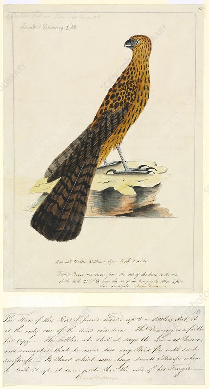 Red goshawk, 18th century
