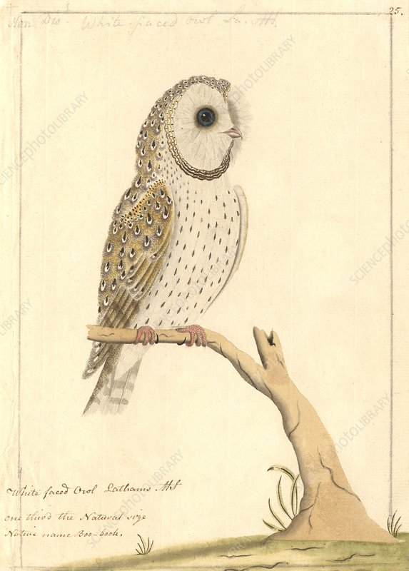 Barn owl, 18th century