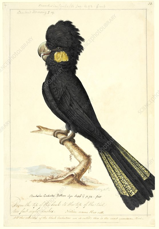 Calyptorhynchus cockatoo, 18th century