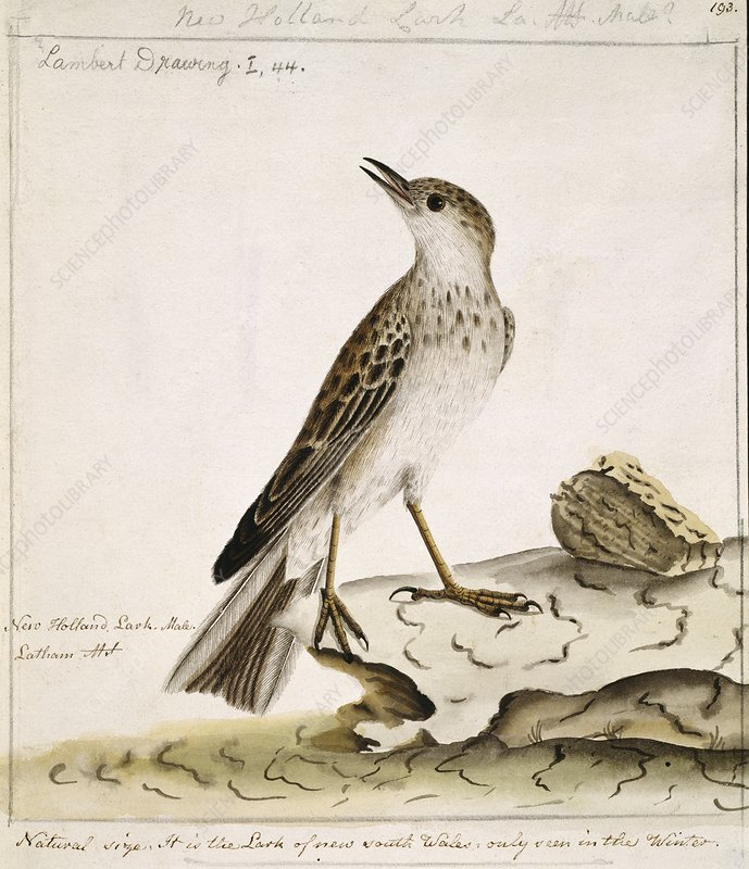 New Zealand pipit, 18th century