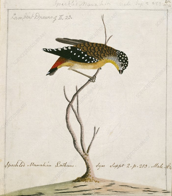 Spotted pardalote, 18th century