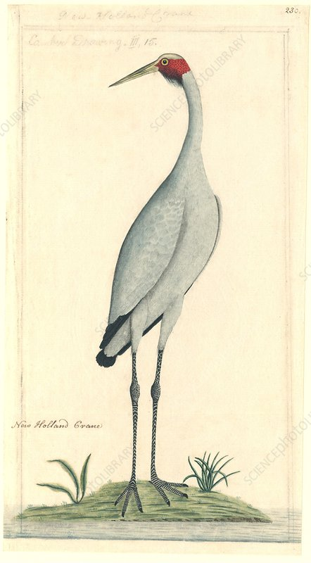 Brolga, 18th century