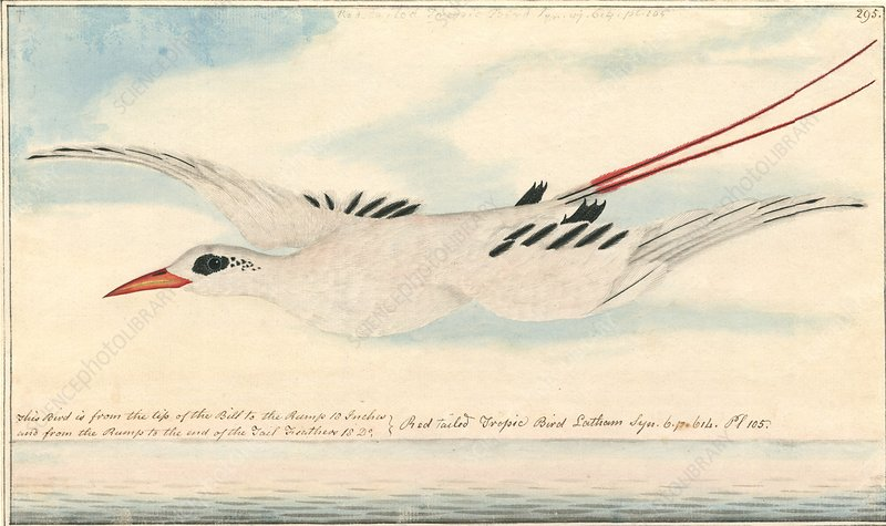 Red-tailed tropicbird, 18th century