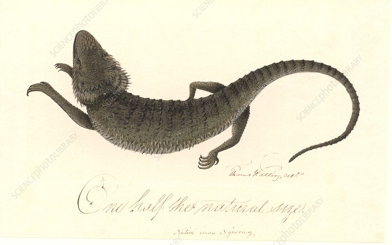Eastern bearded dragon, 18th century