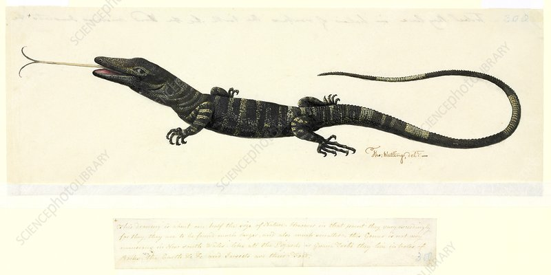 Lace monitor lizard, 18th century