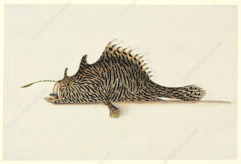 Striped anglerfish, 18th century