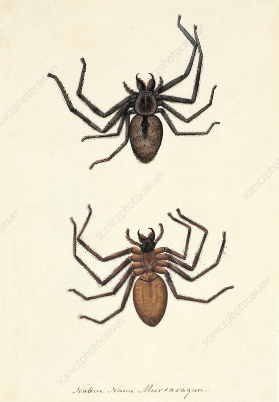 Australian spiders, 18th century