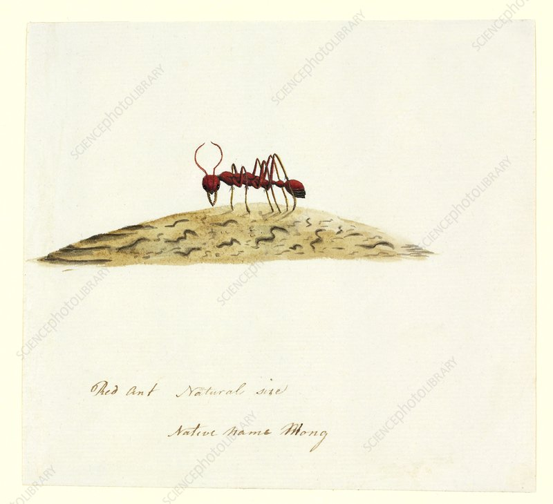 Fire ant, 18th century