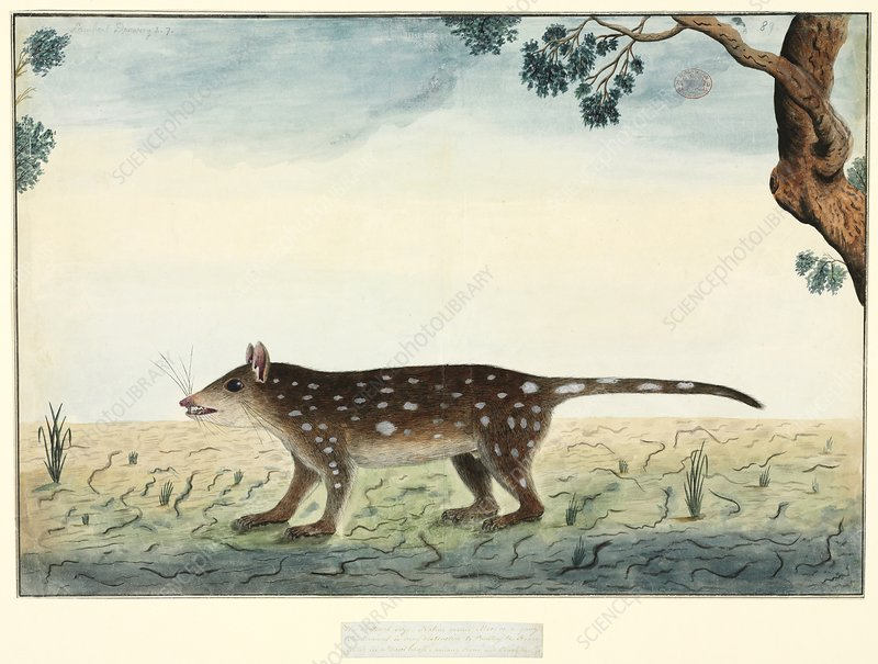 Spotted quoll, 18th century