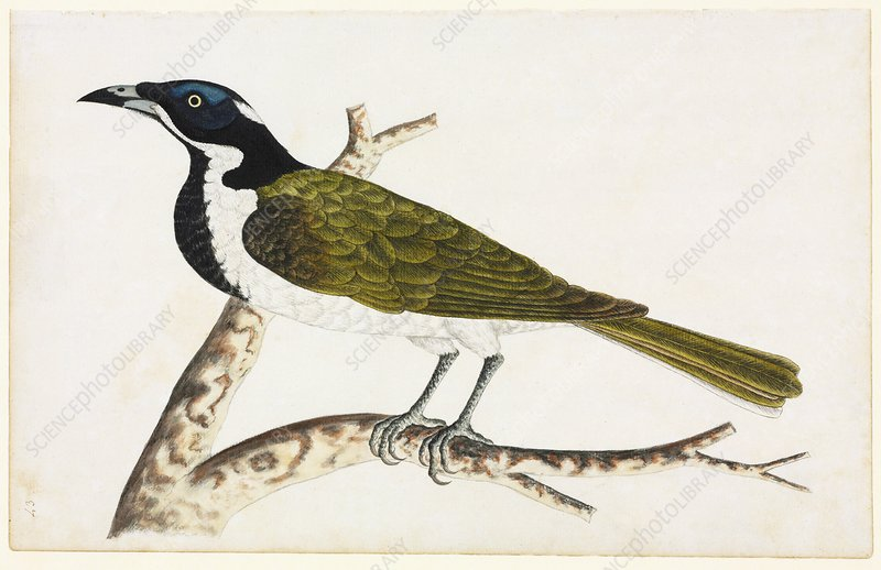 Blue-faced honeyeater, 18th century
