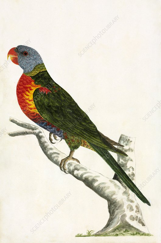 Rainbow lorikeet, 18th century