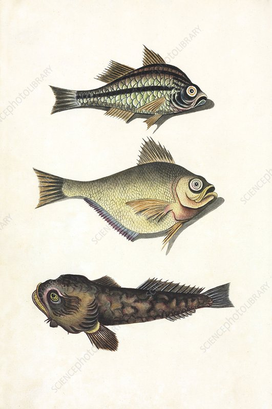 Australian fishes, 18th century