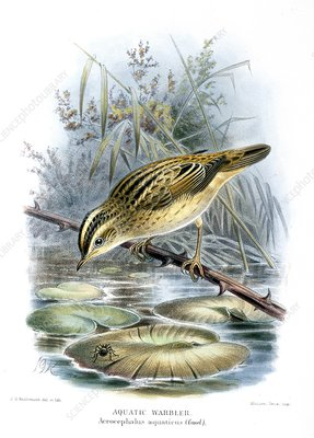 Aquatic warbler, 19th century