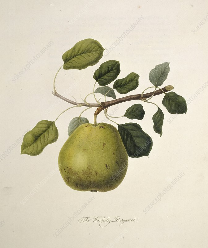 Wormsley Bergamot Pear (1818)