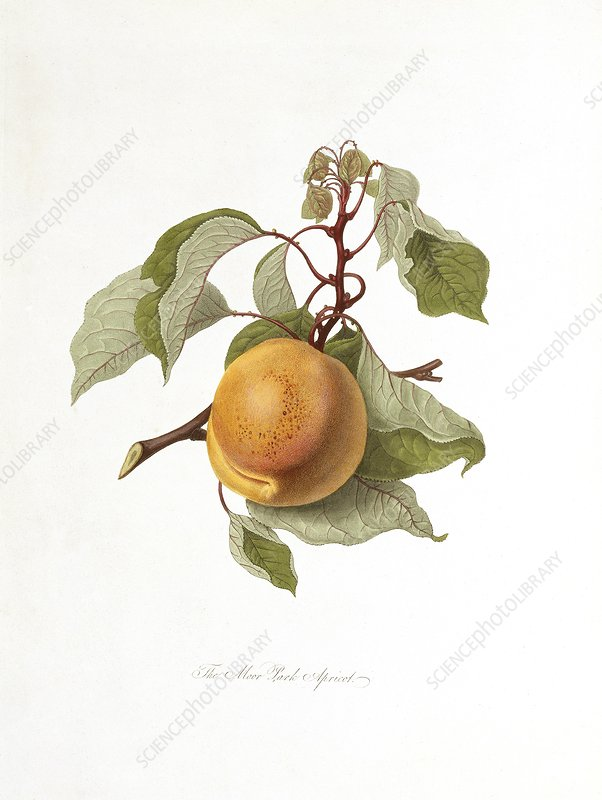 Moor Park Apricot (1818)