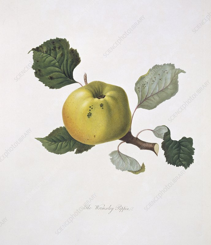 Wormsley Pippin Apple (1818)