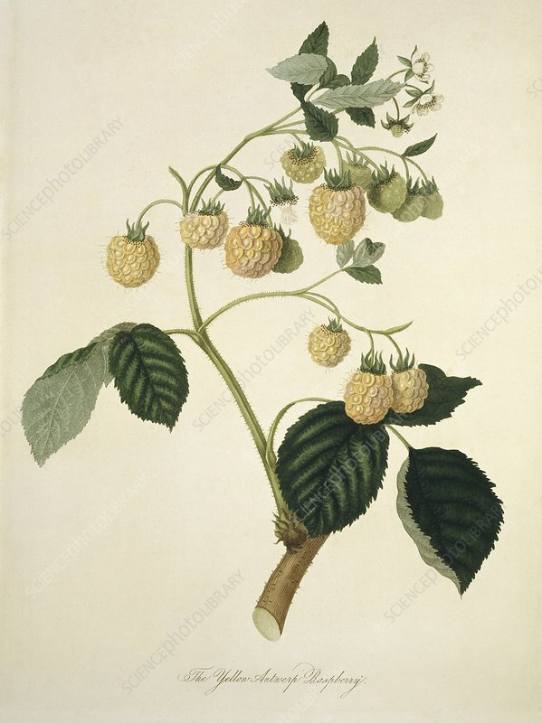 Yellow Antwerp Raspberry (1818)