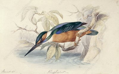 Common kingfisher,19th century
