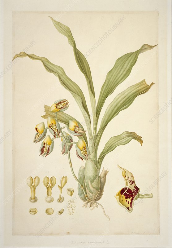 Catasetum macrocarpum, 18th century