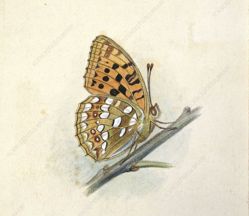 High brown fritillary, 20th century