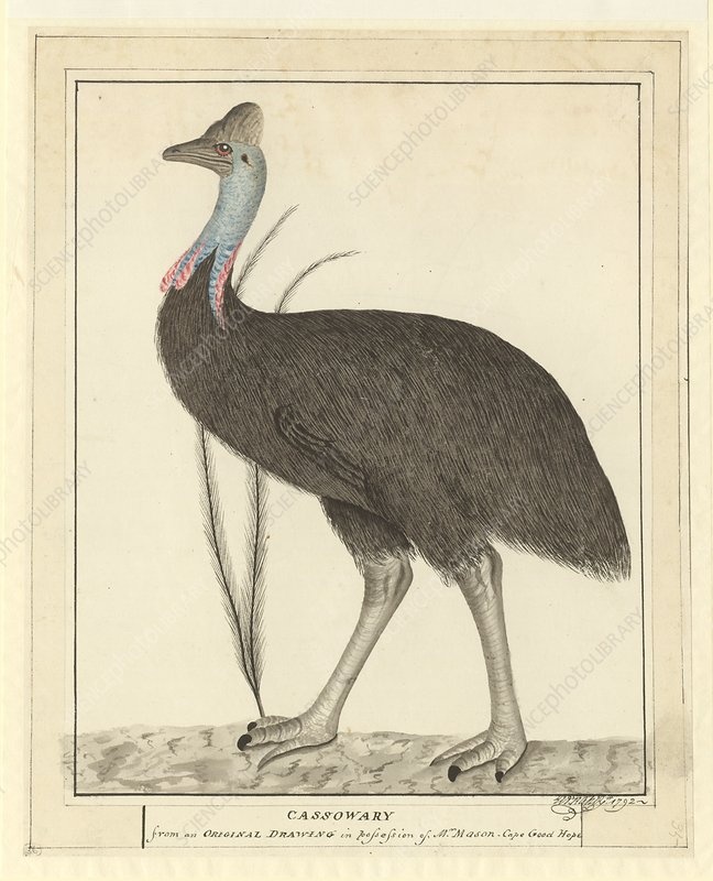 Southern cassowary, 18th century