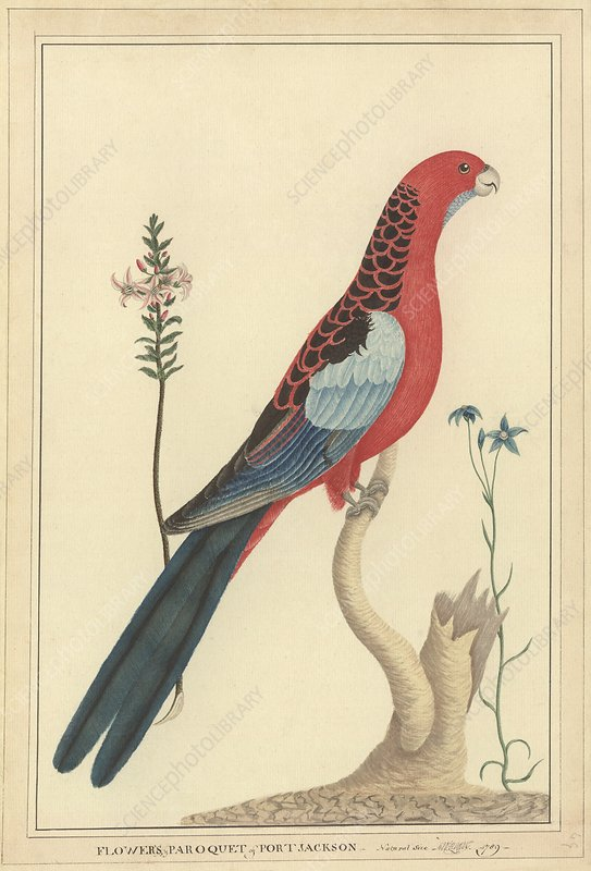 Crimson rosella, 18th century
