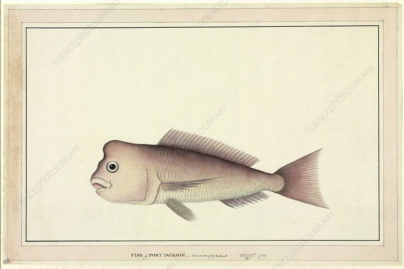 Red snapper, 18th century