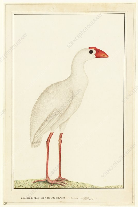 Lord Howe swamp hen, 18th century