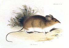 Darwin's mouse, 19th century