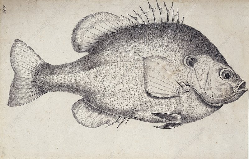 Redear sunfish, 18th century