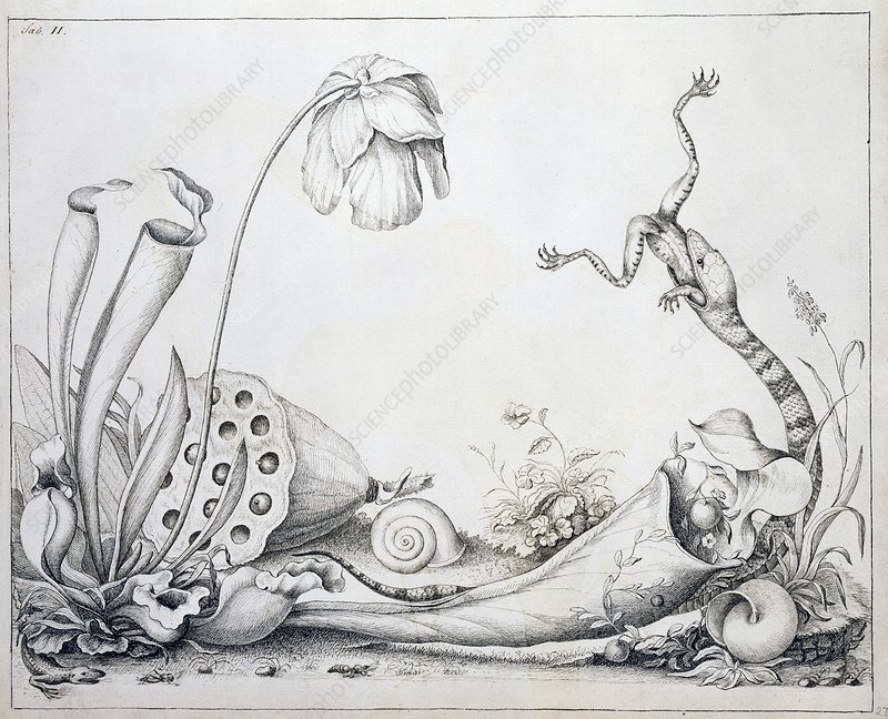 Pitcher plants and snake, 18th century