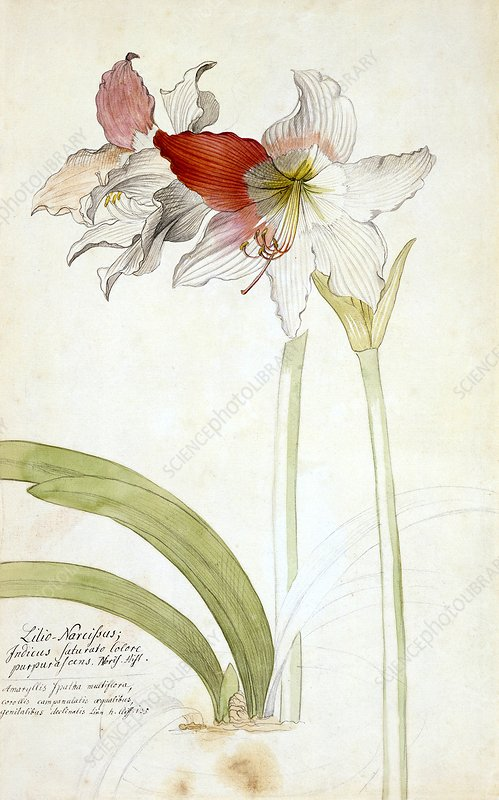 Lilio narcissus, 18th century artwork