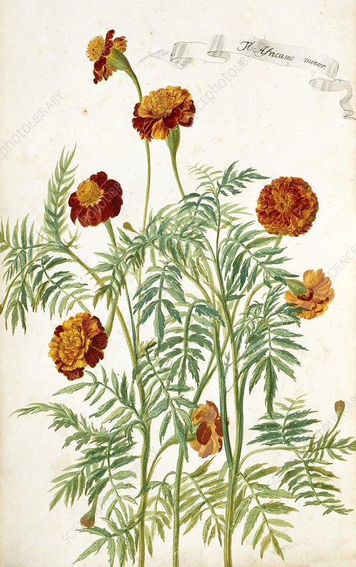 Marigold (Aricanis minor)