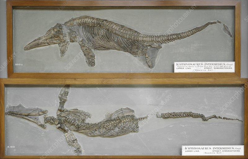 Ichthyosaurus intermedius fossil