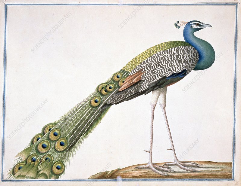 Indian peafowl, artwork